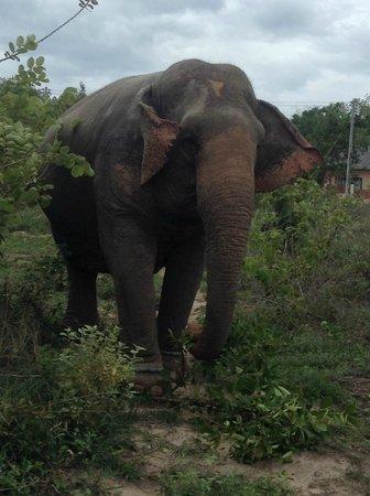 Hutsadin Elephant Foundation: walking in the open