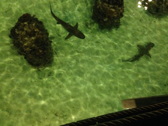 Hilton Moorea Lagoon Resort & Spa : sharks beneath creperia