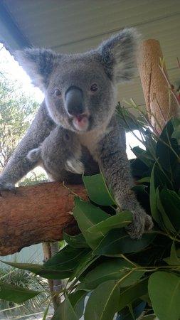 Australia Walkabout Wildlife Park: Joey Koala