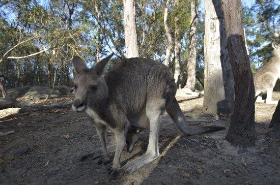 Australia Walkabout Wildlife Park: Joey Kangaroo