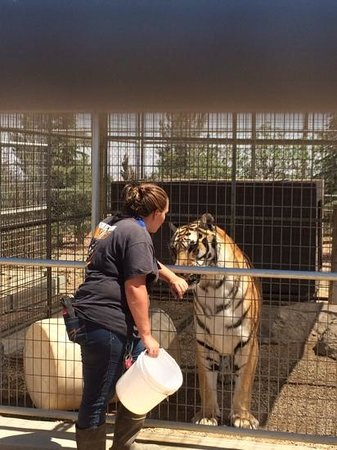Forever Wild Exotic Animal Sanctuary: This tiger LOVED it when she would talk to him. She knew about all the animals, their personalit