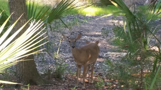 Hunting Island State Park Campground: deer at our campsite
