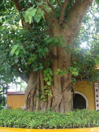 Chua Tran Quoc: дерево боддхи