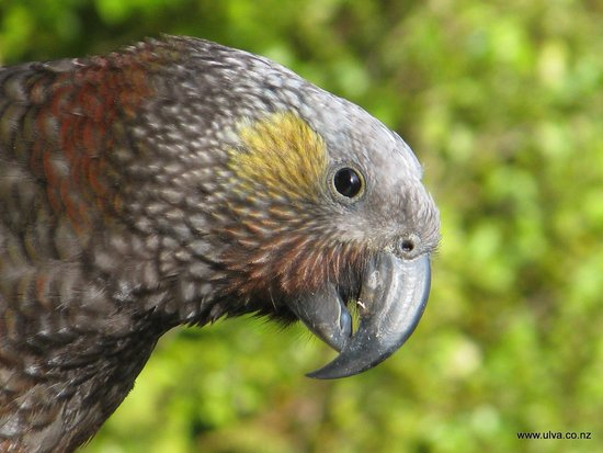 Ulva's Guided Walks: Stewart Island Kaka