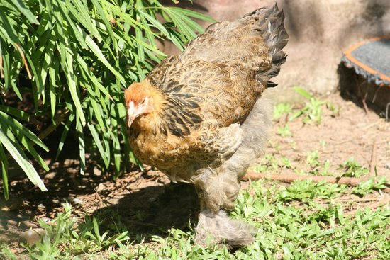 Vrindavanam Heritage Home: Mad fluffy chickens roaming the courtyard.