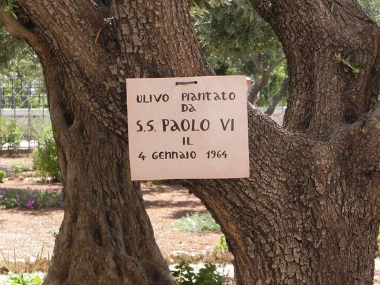 Garden of Gethsemane : Олива