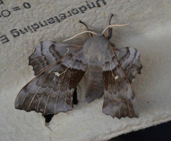 Beili Neuadd: Poplar Hawk Moth