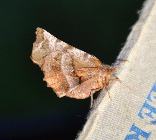 Beili Neuadd: Early Thorn Moth