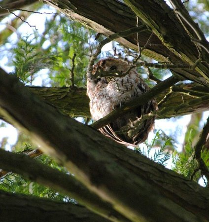 Beili Neuadd: Tawny Owl