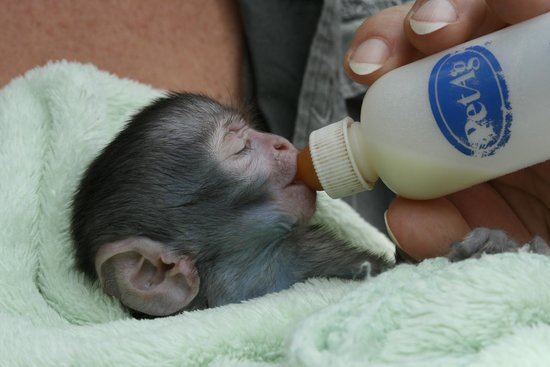 Bela Bela, South Africa: orphaned monkey baby
