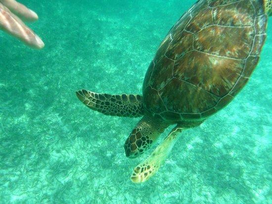Plage d'Akumal: Turtles at Akumal Beach