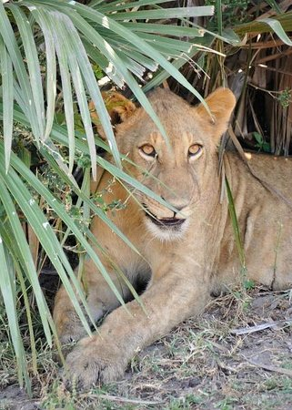 Selous Game Reserve: piccolo di leone