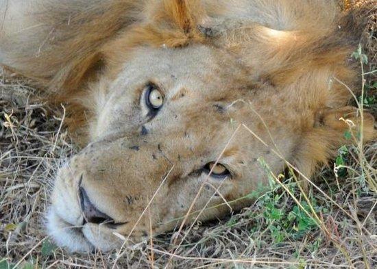 Selous Game Reserve : Primo piano del leone