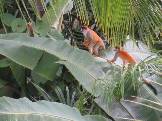 La Mariposa Hotel: Saw this family of Monkeys from our Balcony