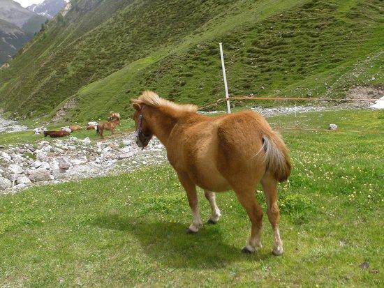 Carosello 3000 - Ski Area Livigno : pony at the Cheseira da Fedaria