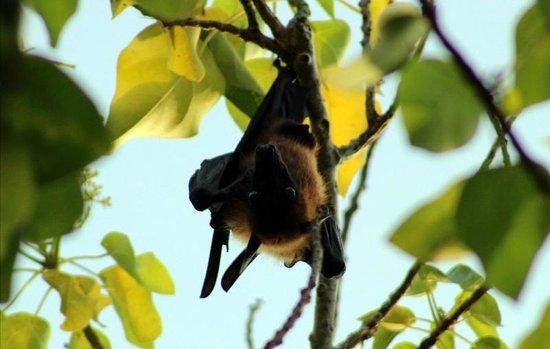 Kuredu Island Resort & Spa: fruit bat