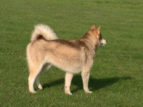Elmdon Park: Kieko the husky