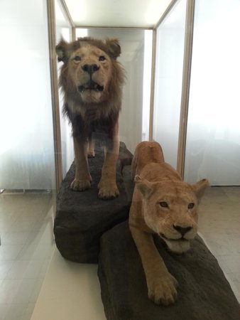 Naturmuseum Senckenberg: lions