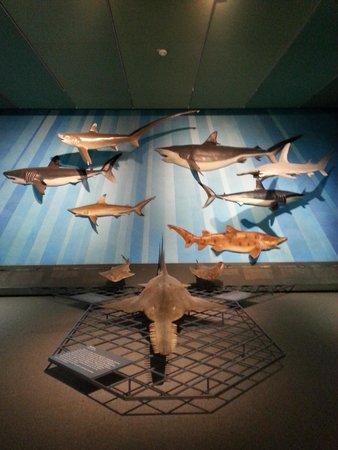 Senckenberg Natural History Museum (Naturmuseum Senckenberg) : sea life