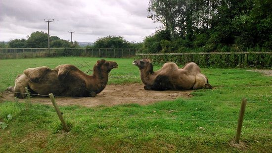 Folly Farm Adventure Park and Zoo: RELAXING CAMELS
