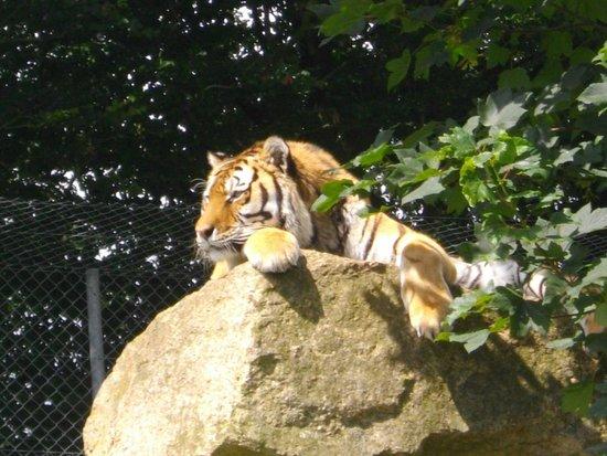 Dartmoor Zoological Park: Vlad the Siberian tiger DZP