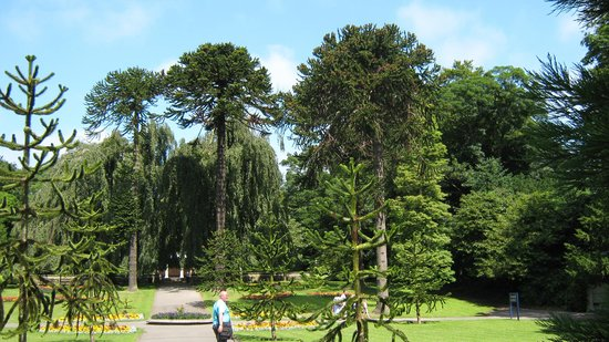 Sewerby Hall and Gardens: monkey puzzles