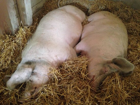 Farm Sanctuary: Nap time