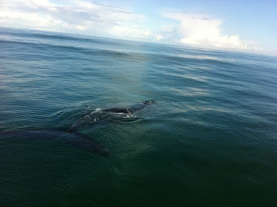 Hermanus Whale Cruises: amazing animal