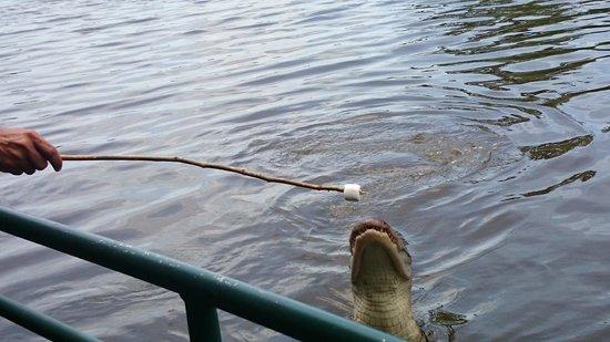 Feeding Alligator @ Cajun Encounters