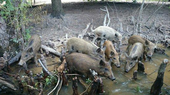 Cajun Encounters: Pigs @ Cajun Encouners