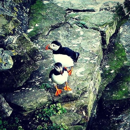 Brough Of Birsay: Puffin
