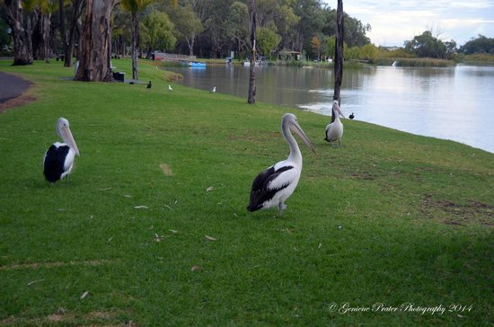BIG4 Renmark Riverfront Holiday Park: Most Friendly Pelicans in Australia