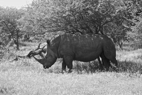 Mongena Game Lodge: Rhino on game drive