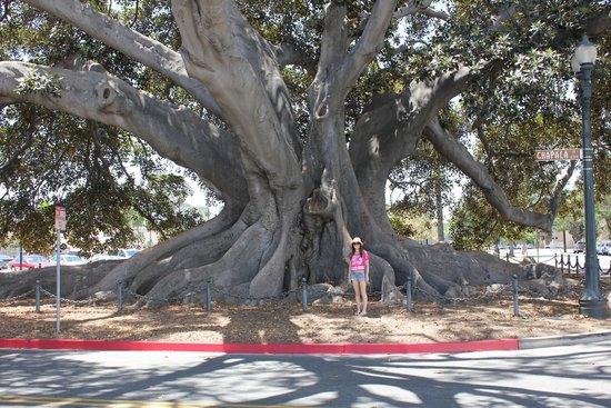 Moreton Bay Fig Tree : Figs