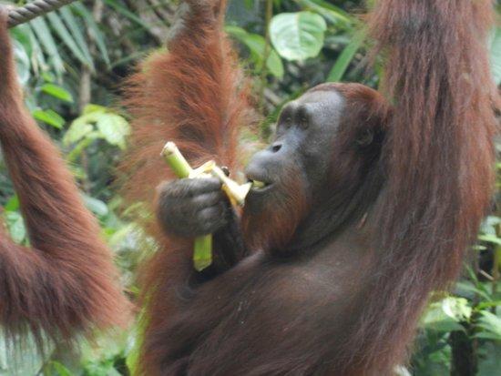 Semenggoh Nature Reserve: Quanto son buone le banane!