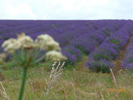Cotswold Lavender: Lavendelfelder in Snowshill bei Broadway