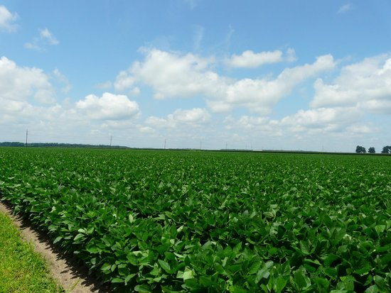 Cotton field - Picture of Louisiana State Cotton Museum ...