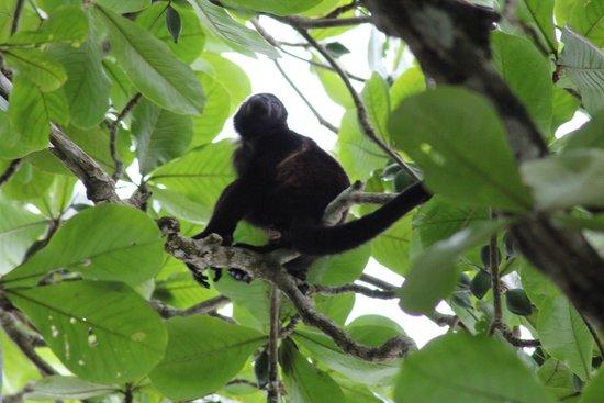 Cahuita National Park: Singe hurleur