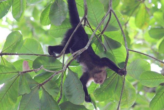 Cahuita National Park: Singe à tête blanche