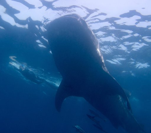 Underwater expeditions -  Tour Tiburon Ballena: Snorkeling with the whale sharks