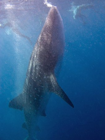 Underwater expeditions -  Tour Tiburon Ballena: Vertical whale shark
