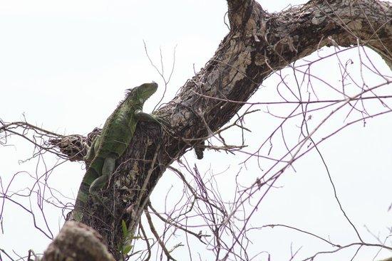 Cahuita National Park: Iguane