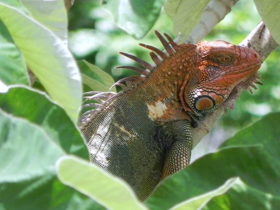 Pacifico Colonial Condominiums: Iguana In Tree Near Pool