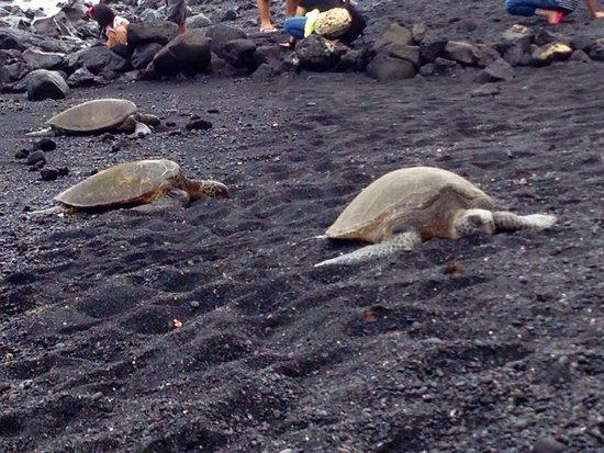 Punalu'u Black Sand Beach Park: Honu!