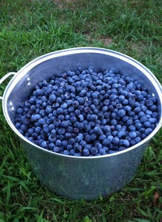 Holcomb's Blueberries