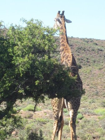 Sanbona Game Reserve - Gondwana Lodge: Giraffes on our game drive