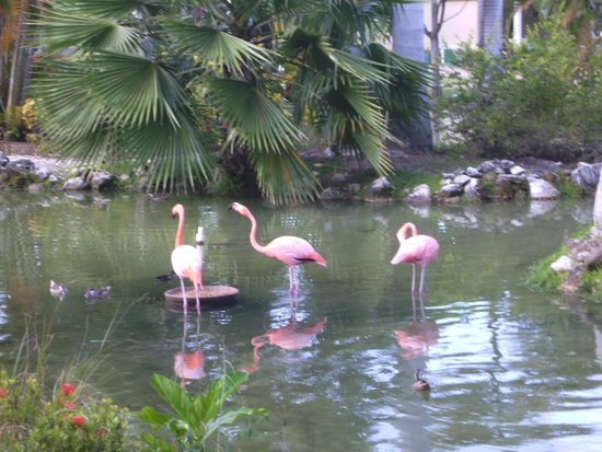 Meliá Caribe Tropical: flamingoes