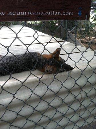 Acuario Mazatlan: Sleepy fox, close enough to touch. (But don't.)