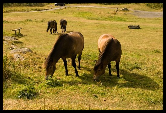 Valley of Rocks Walk-South West Coast Path: Exmoor ponies