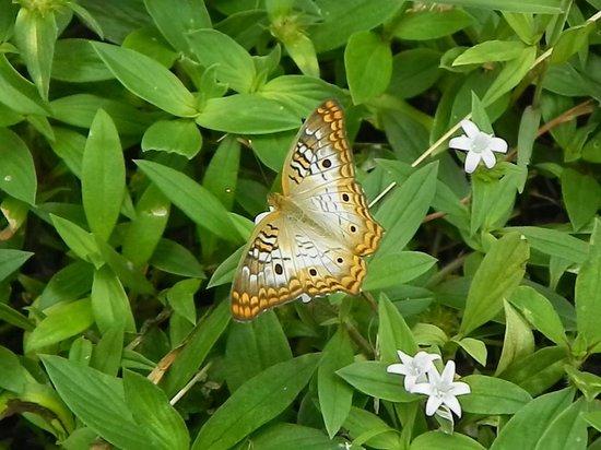 Arthur R. Marshall Loxahatchee National Wildlife Refuge: Plenty of butterflies